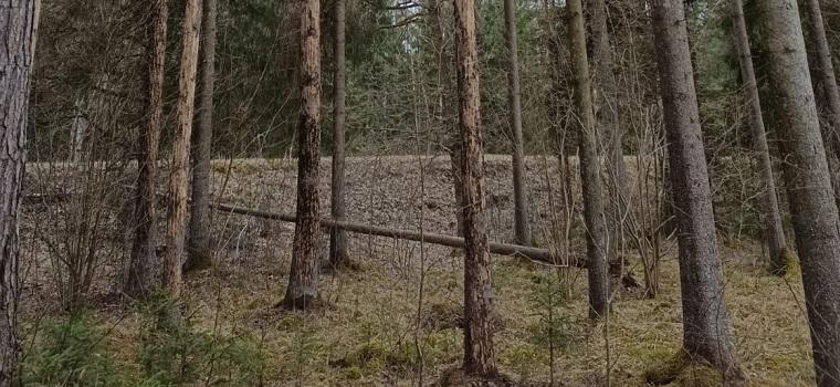 No mizgraužiem cietušās nokaltušās egles Šūmaņu mežā